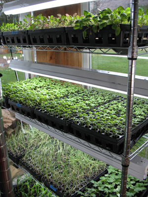 Seedlings awaiting transplant