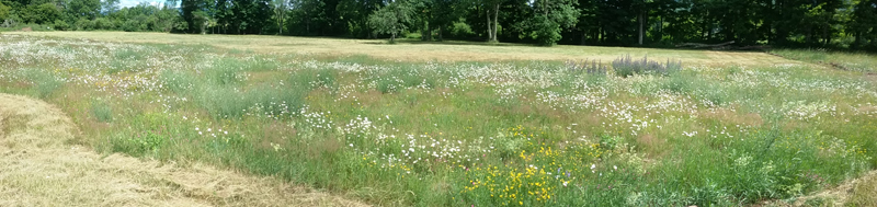Wildflowers in lower field 2016-07